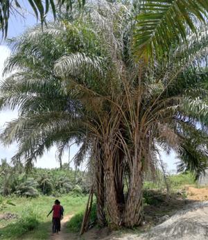 Palmboom Busua Beach - pagina 'meer informatie'